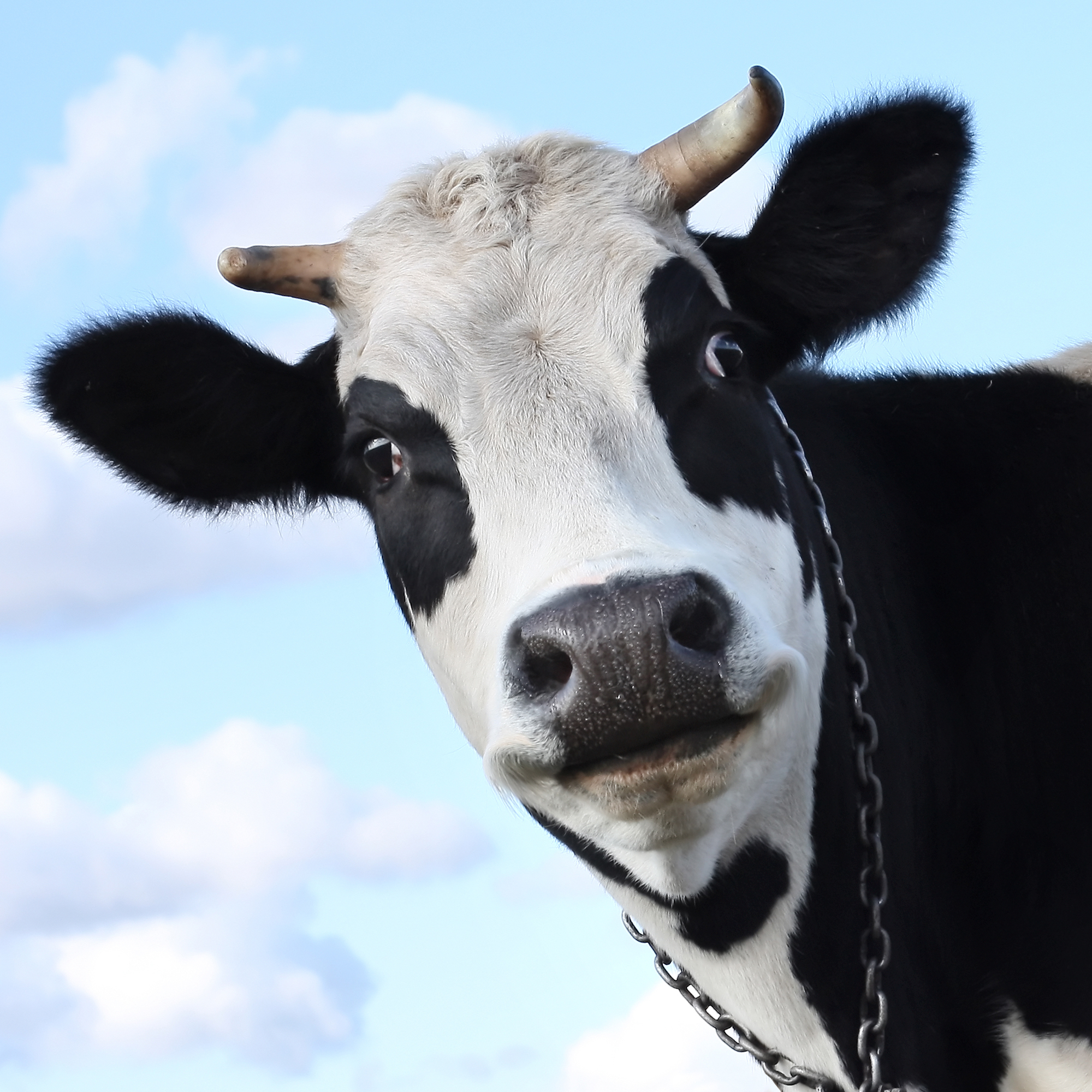 Smiling dairy cow
